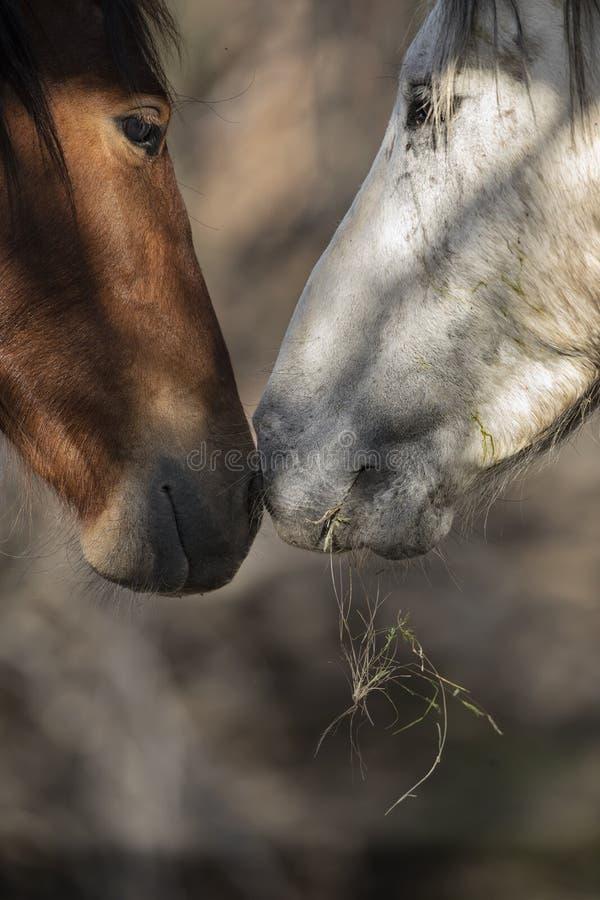 Δύο άγρια άλογα που σπρώχνουν με τη μουσούδα τη μύτη στη μύτη στοκ εικόνες