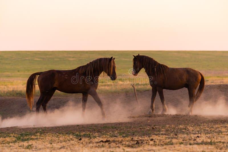 Δύο άγρια άλογα στη σκόνη στοκ εικόνες
