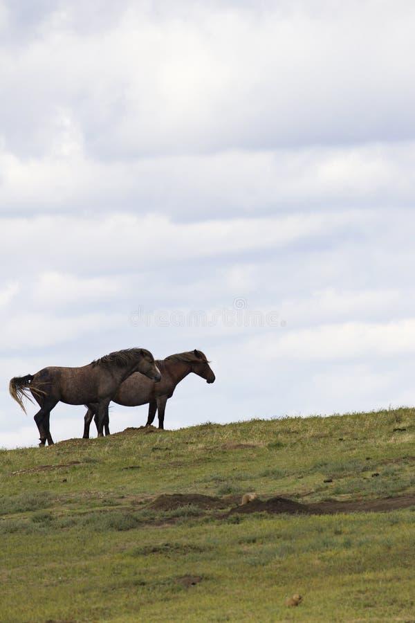 Δύο άγρια άλογα στη βόρεια Ντακότα, εθνική ισοτιμία του Θεόδωρος Ρούσβελτ στοκ φωτογραφία