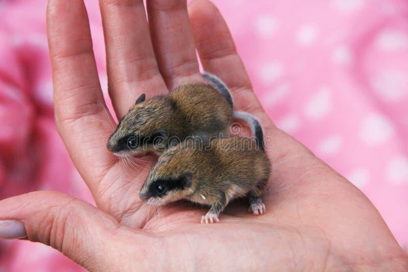 Δύο άγρια ποντίκια στο φοίνικα στοκ εικόνες