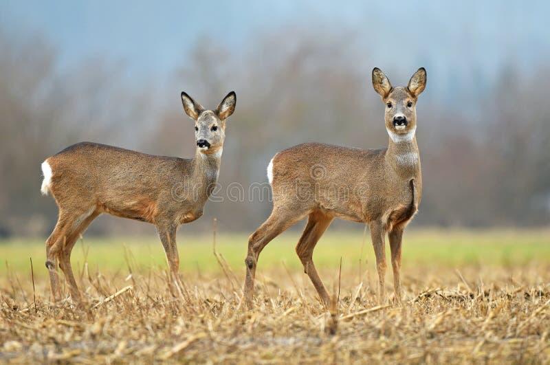 Δύο άγρια deers αυγοτάραχων σε έναν τομέα στοκ εικόνες με δικαίωμα ελεύθερης χρήσης