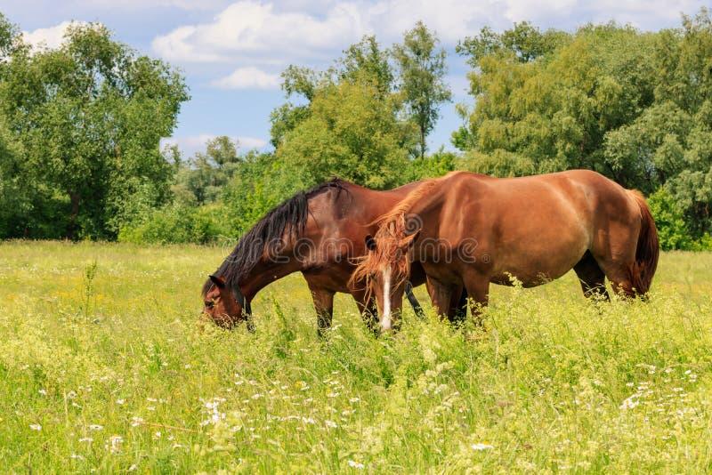 Δύο άλογα βόσκουν στην πράσινη χλόη του λιβαδιού μια ηλιόλουστη θερινή ημέρα στοκ φωτογραφίες με δικαίωμα ελεύθερης χρήσης
