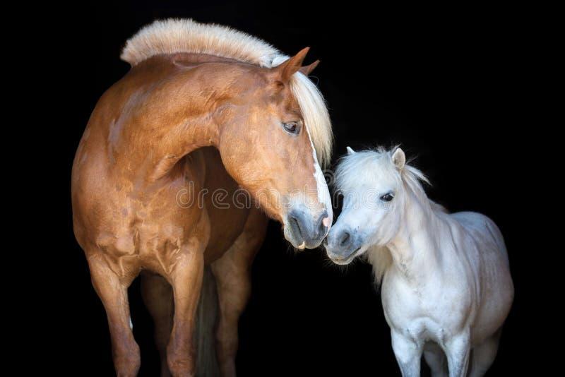 Δύο άλογα που απομονώνονται στο μαύρο backgtound στοκ φωτογραφίες