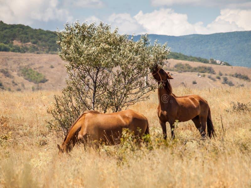 Δύο άλογα που στέκονται να φάει στον τομέα την καυτή θερινή ημέρα στοκ φωτογραφία με δικαίωμα ελεύθερης χρήσης