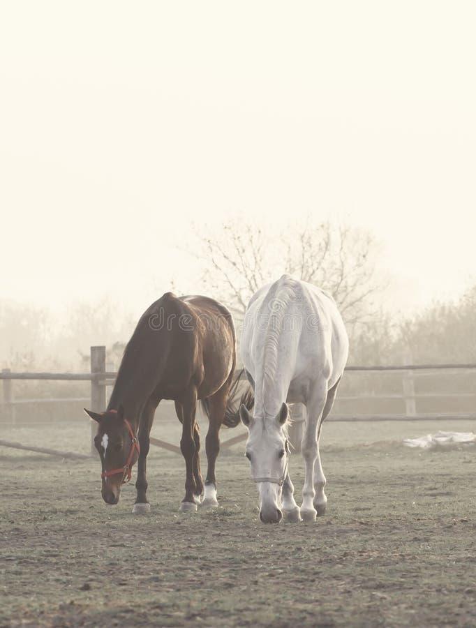 Δύο άλογα στο misty αγρόκτημα στοκ εικόνες