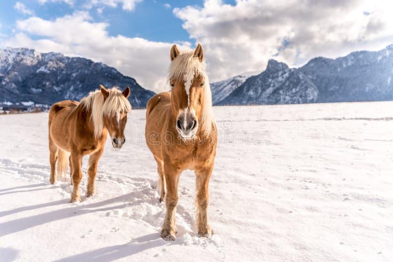 Δύο άλογα Haflinger στις αιχμές χειμερινών λιβαδιών και βουνών στο υπόβαθρο στοκ φωτογραφίες