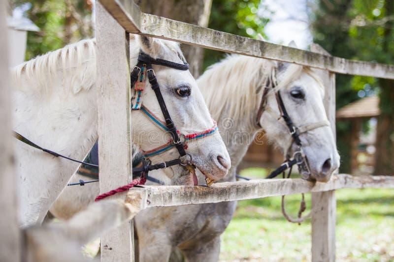 Δύο άσπρα άλογα που στέκονται εκτός από το φράκτη στοκ φωτογραφίες