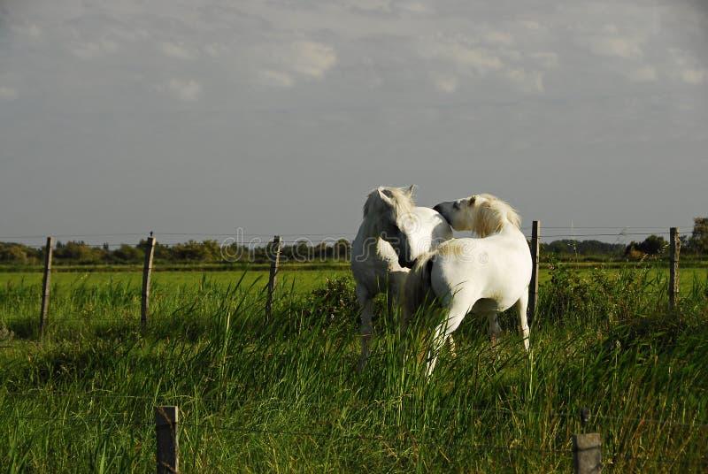 Άσπρα άλογα στοκ φωτογραφία με δικαίωμα ελεύθερης χρήσης