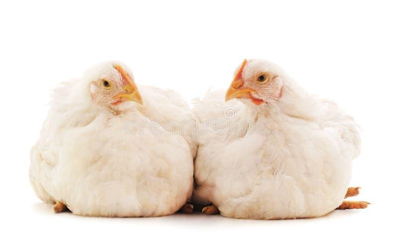Δύο άσπρα κοτόπουλα στοκ εικόνες με δικαίωμα ελεύθερης χρήσης
