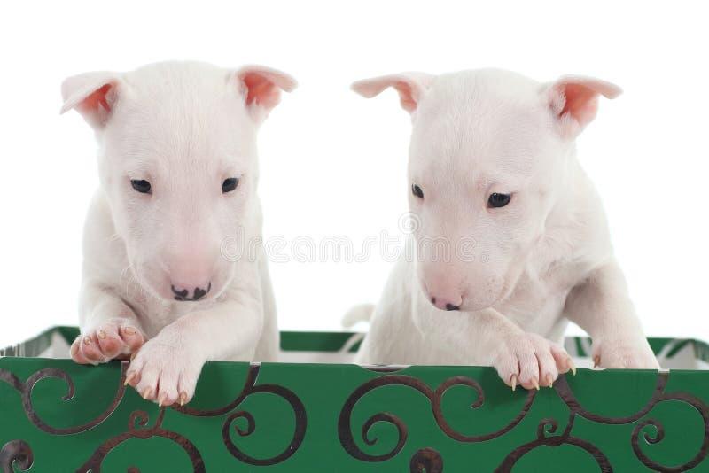 Δύο άσπρα κουτάβια τεριέ ταύρων σε ένα πράσινο κιβώτιο στοκ φωτογραφία