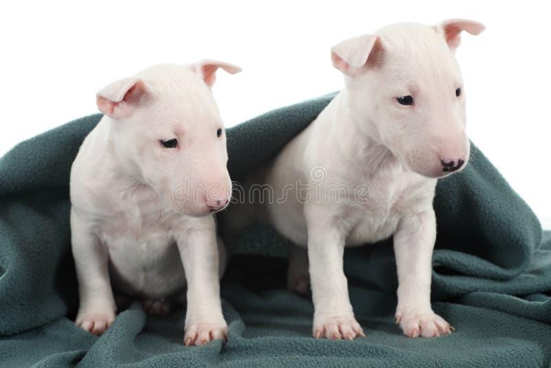 Δύο άσπρα κουτάβια τεριέ ταύρων στοκ φωτογραφία με δικαίωμα ελεύθερης χρήσης