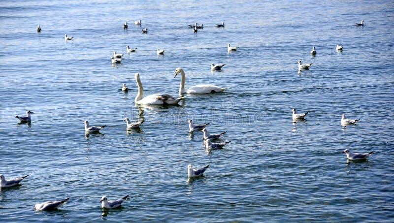 δύο άσπρη εικόνα κύκνων και seagulls στοκ εικόνα