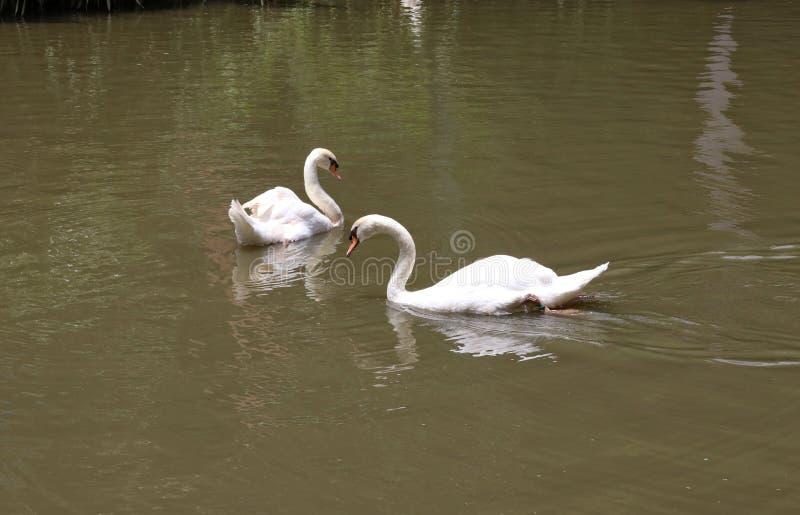 Δύο άσπροι κύκνοι κολυμπούν στη λίμνη απολαμβάνοντας τη φύση στοκ εικόνα με δικαίωμα ελεύθερης χρήσης