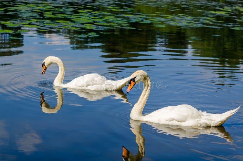 Δύο άσπροι κύκνοι κολυμπούν στο νερό στη φύση στοκ φωτογραφία με δικαίωμα ελεύθερης χρήσης