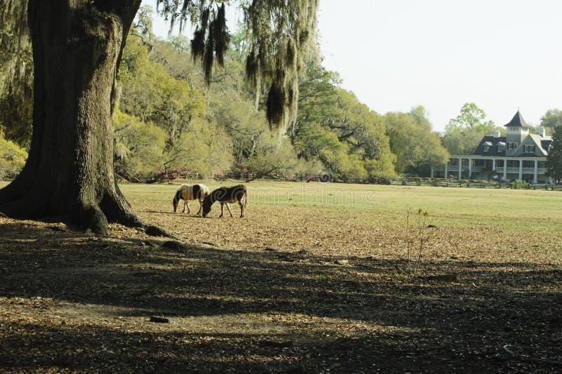 Δύο άλογα βόσκουν κάτω από ένα παλαιό δέντρο στην άνοιξη στοκ εικόνες με δικαίωμα ελεύθερης χρήσης