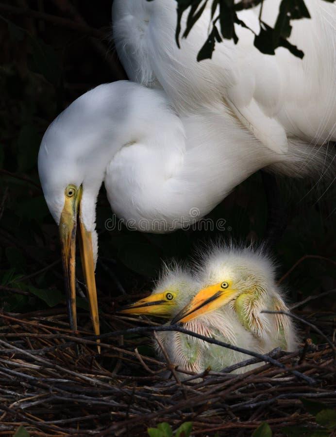 Δύο λίγοι νεοσσοί τσικνιάδων ημέρας στη φωλιά με Mom στοκ εικόνα με δικαίωμα ελεύθερης χρήσης