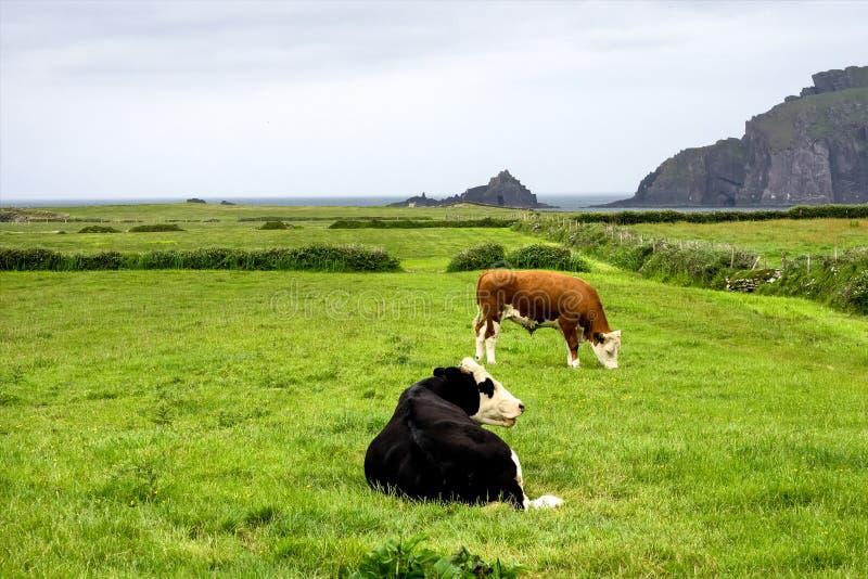 Δύο αγελάδες Dingle Drive Slea στην επικεφαλής χερσόνησο, ιρλανδική αγελάδα, Ι στοκ φωτογραφία