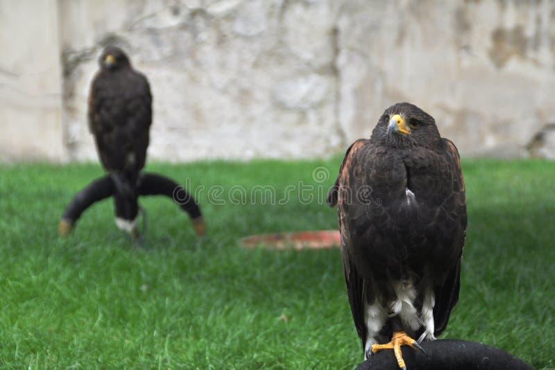 Δύο αετοί που κάθονται και που σκέφτονται στοκ φωτογραφία