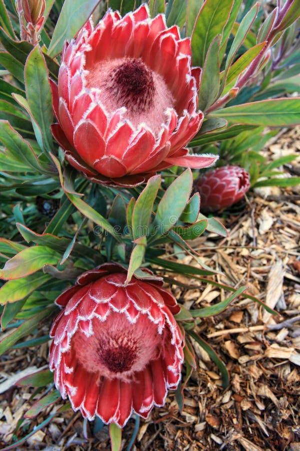 Δύο ανθίζοντας λουλούδια protea στοκ εικόνες