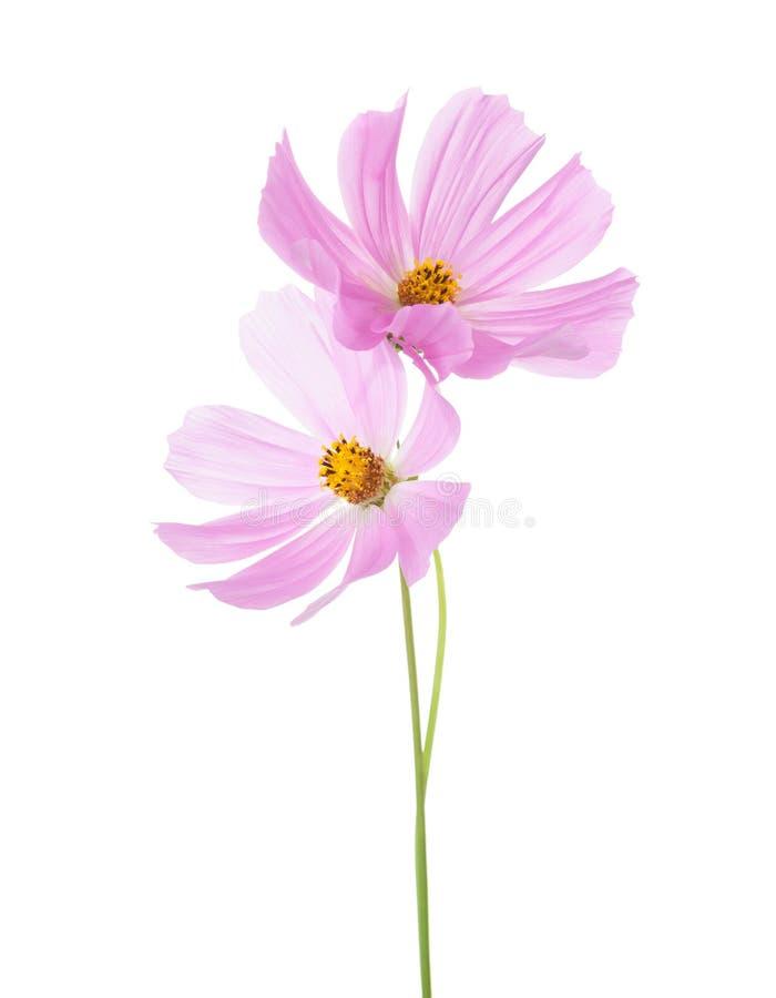 Δύο ανοικτό ροζ λουλούδια κόσμου που απομονώνονται στο άσπρο υπόβαθρο backgrounds cosmos garden spa στοκ εικόνα