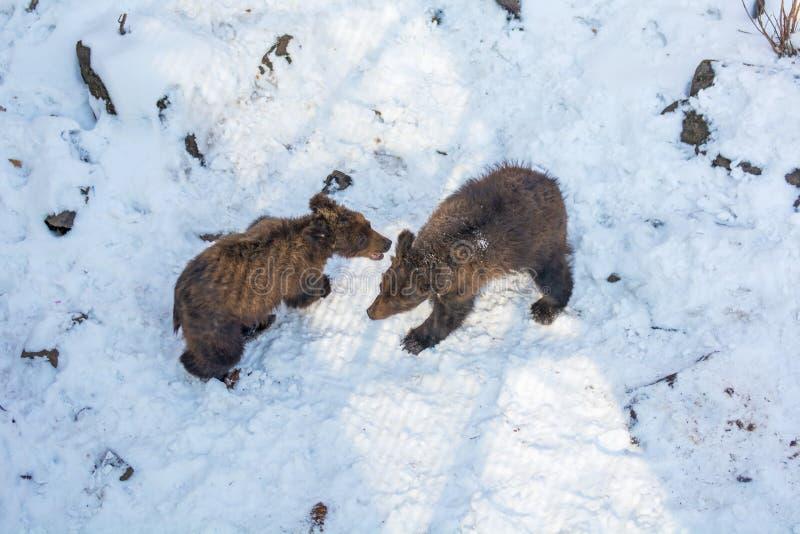 Δύο αντέχουν cubs παίζοντας στο χιόνι, τα ψηλά δέντρα και την ομοφυλοφιλική cubs πτώση στοκ φωτογραφία