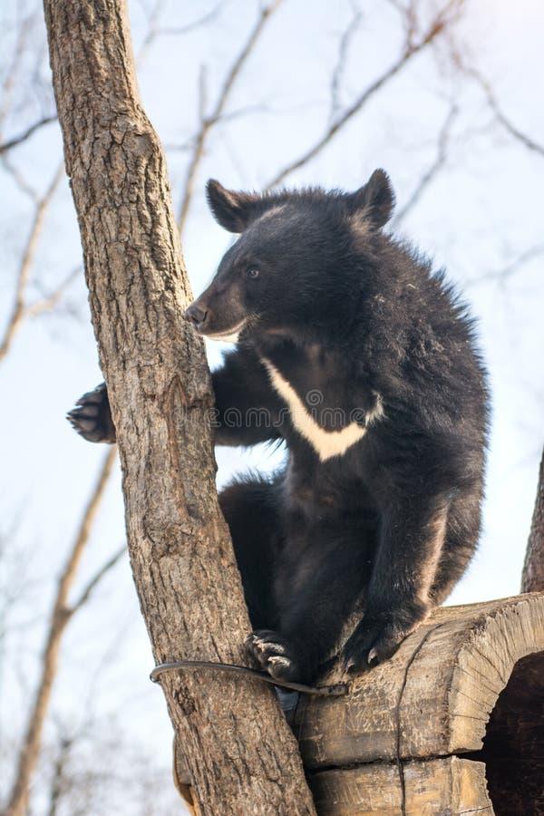 Δύο αντέχουν cubs παίζοντας στο χιόνι, τα ψηλά δέντρα και την ομοφυλοφιλική cubs πτώση στοκ φωτογραφίες με δικαίωμα ελεύθερης χρήσης
