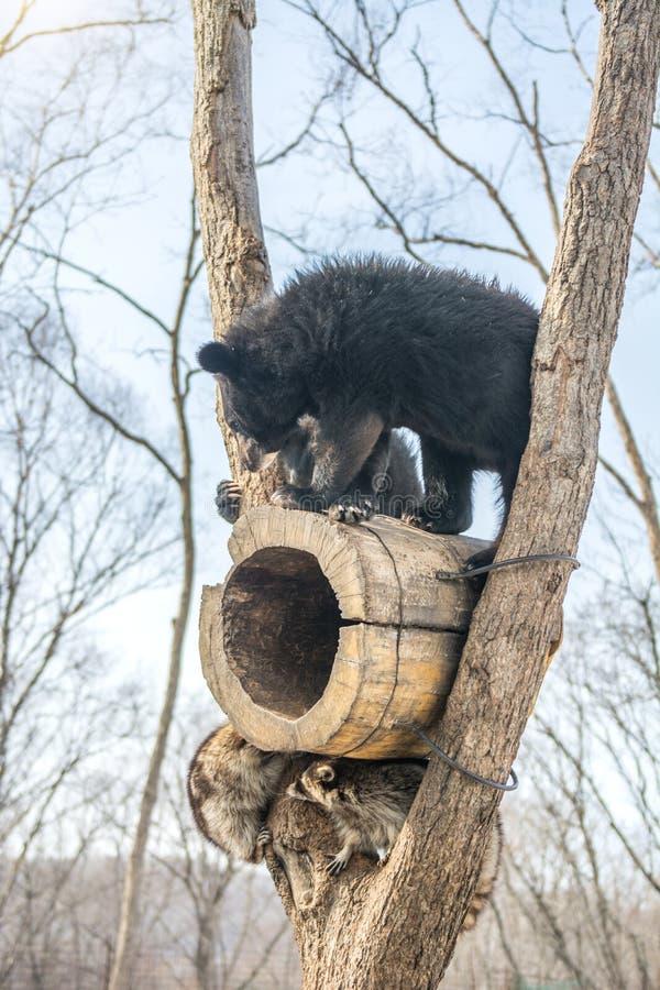 Δύο αντέχουν cubs το παιχνίδι σε ένα δέντρο μαζί με τα ρακούν, ρακούν που οργανώνονται μακριά με το ξύλο από τις αρκούδες στοκ εικόνες με δικαίωμα ελεύθερης χρήσης