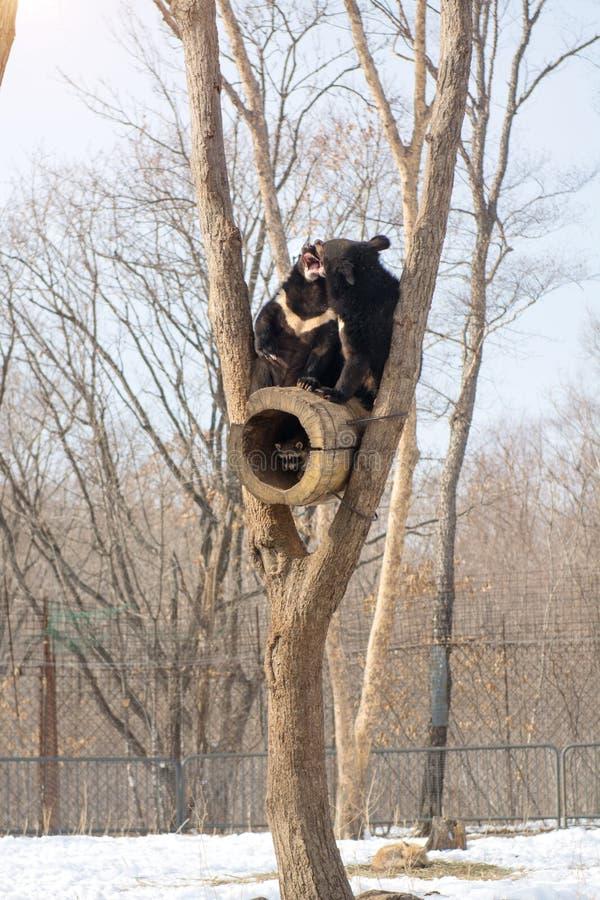 Δύο αντέχουν cubs το παιχνίδι σε ένα δέντρο μαζί με τα ρακούν, ρακούν που οργανώνονται μακριά με το ξύλο από τις αρκούδες στοκ φωτογραφία