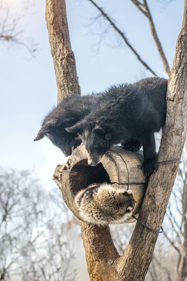 Δύο αντέχουν cubs το παιχνίδι σε ένα δέντρο μαζί με τα ρακούν, ρακούν που οργανώνονται μακριά με το ξύλο από τις αρκούδες στοκ εικόνα με δικαίωμα ελεύθερης χρήσης