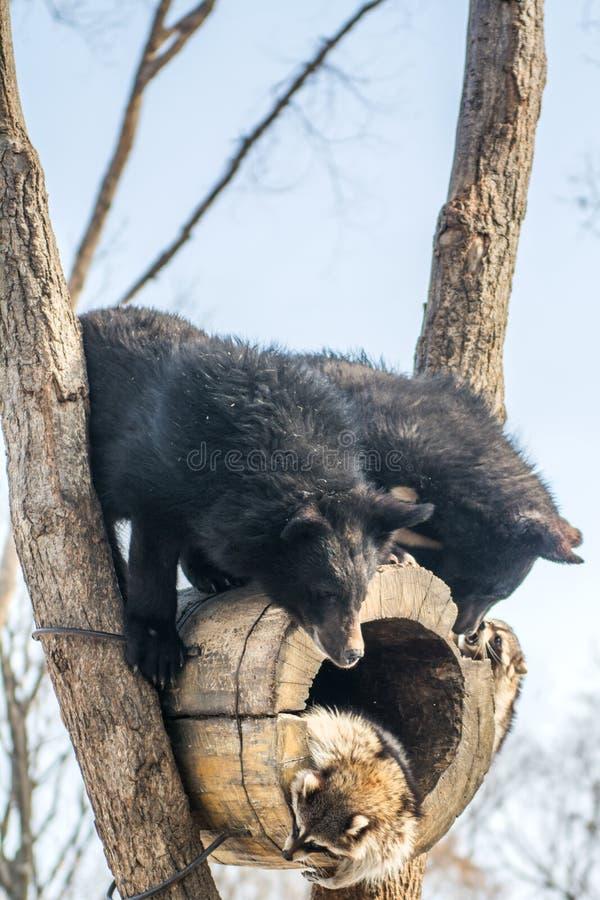 Δύο αντέχουν cubs το παιχνίδι σε ένα δέντρο μαζί με τα ρακούν, ρακούν που οργανώνονται μακριά με το ξύλο από τις αρκούδες στοκ εικόνες