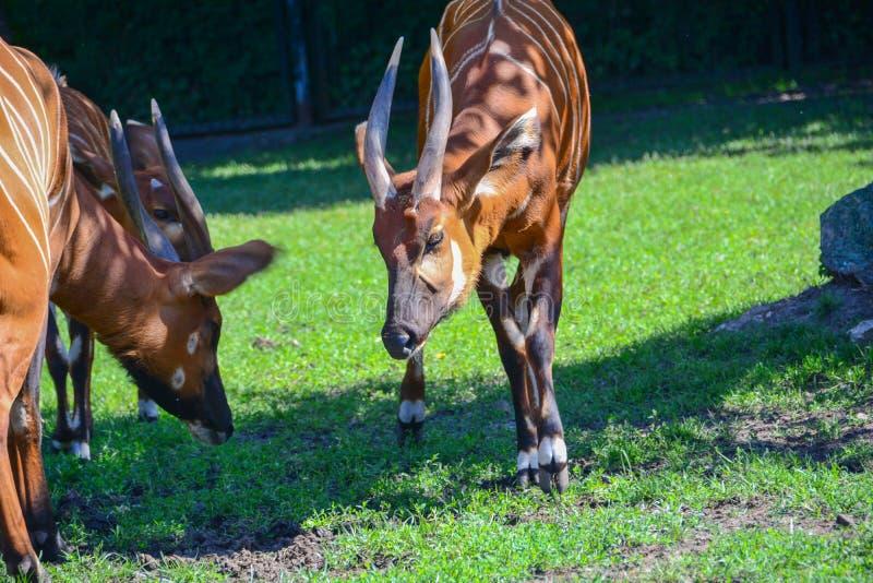 Δύο αντιλόπες Bongo τσιμπούν τη χλόη στο χορτοτάπητα στοκ φωτογραφία με δικαίωμα ελεύθερης χρήσης