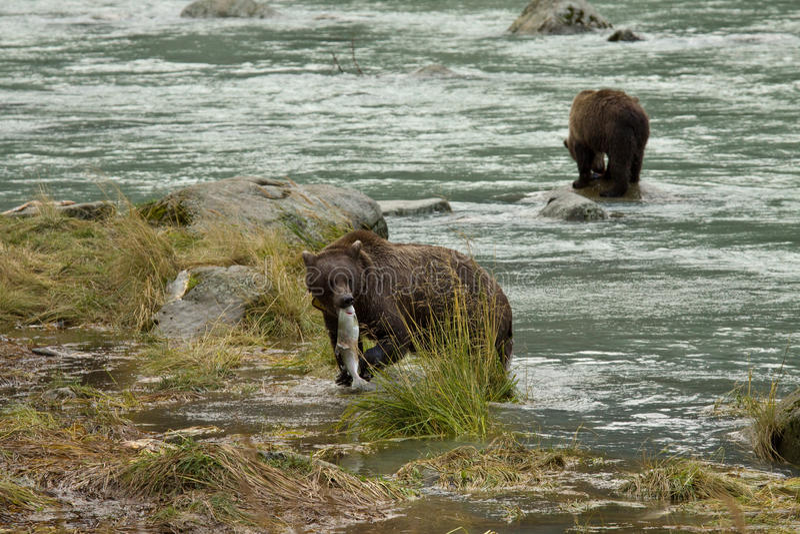 Δύο από την Αλάσκα καφετί Bearx που αλιεύουν για το σολομό στον ποταμό Chilkoot, Haines, Αλάσκα στοκ εικόνα