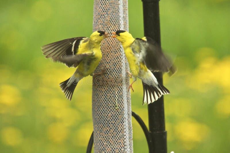 Δύο αρσενικά κίτρινα πουλιά στοκ εικόνες με δικαίωμα ελεύθερης χρήσης