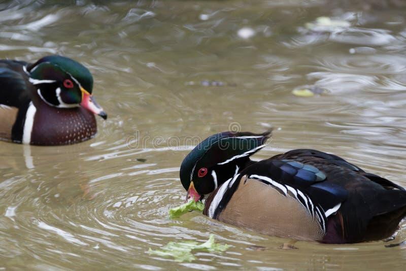 Δύο αρσενικές ξύλινες πάπιες ταΐζουν ενώ στο νερό στοκ εικόνα