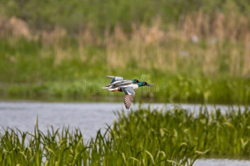 Δύο αρσενικοί βόρειοι χουλιαράδες που πετούν πέρα από τους υγρότοπους στοκ φωτογραφία με δικαίωμα ελεύθερης χρήσης