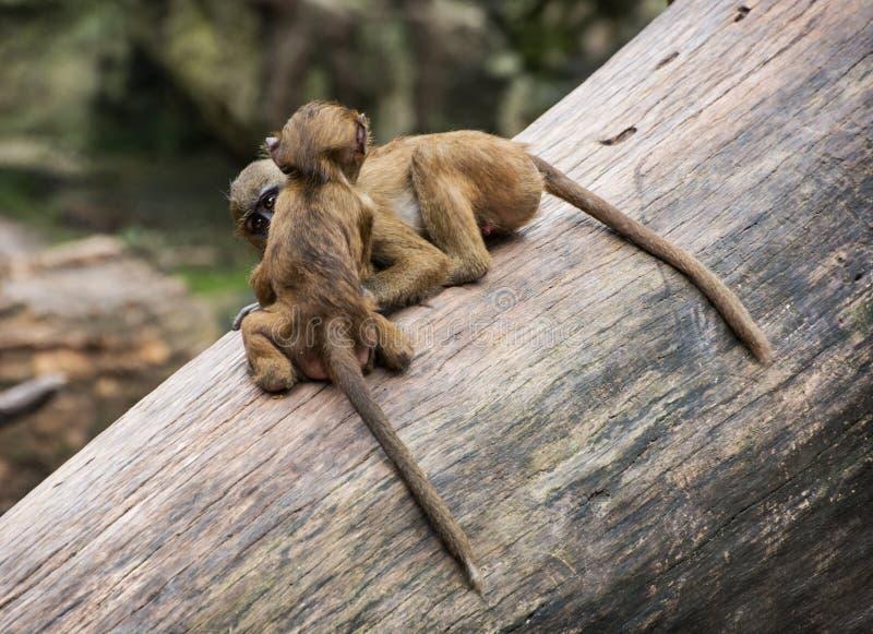 Δύο αστεία μικρά cubs baboon της Γουινέας παίζουν στο δέντρο τ στοκ φωτογραφία με δικαίωμα ελεύθερης χρήσης