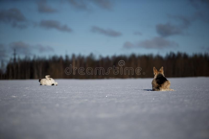 Δύο αστεία σκυλιά παίζουν μαζί στο χειμερινό χιονοδρομικό γήπεδο, έξω στοκ εικόνα