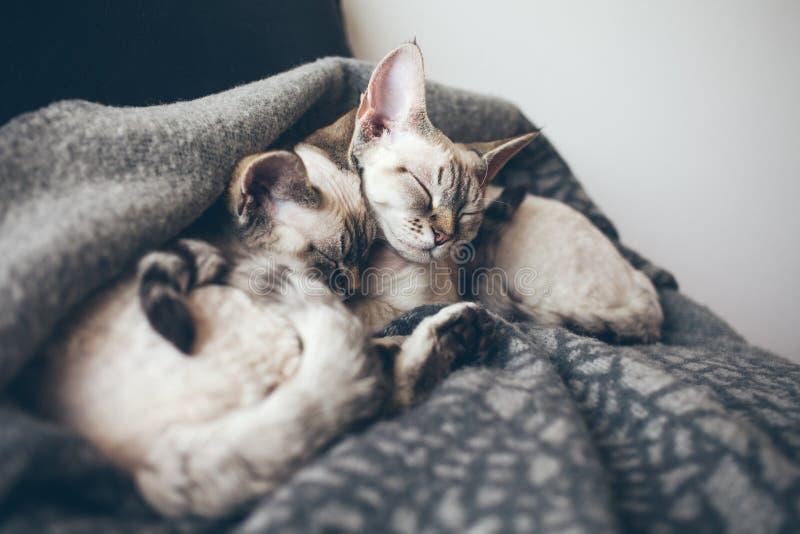 Δύο λατρευτές και χαριτωμένες γάτες του Devon Rex στοκ εικόνες με δικαίωμα ελεύθερης χρήσης