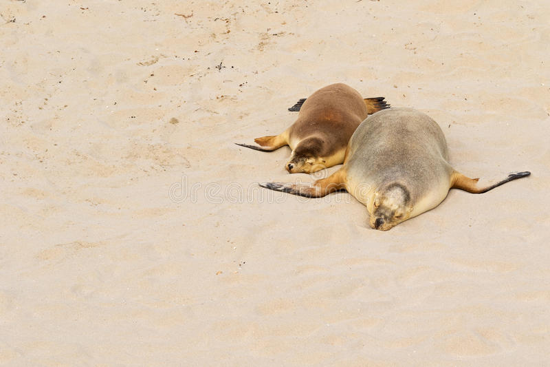 Δύο αυστραλιανά λιοντάρια θάλασσας που κοιμούνται στη θερμή άμμο στον κόλπο σφραγίδων, Kang στοκ φωτογραφία με δικαίωμα ελεύθερης χρήσης