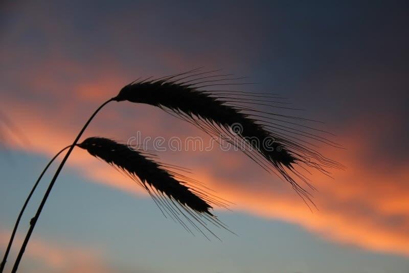 Δύο αυτιά σκιαγραφιών ενάντια στον ουρανό ηλιοβασιλέματος στοκ εικόνα με δικαίωμα ελεύθερης χρήσης