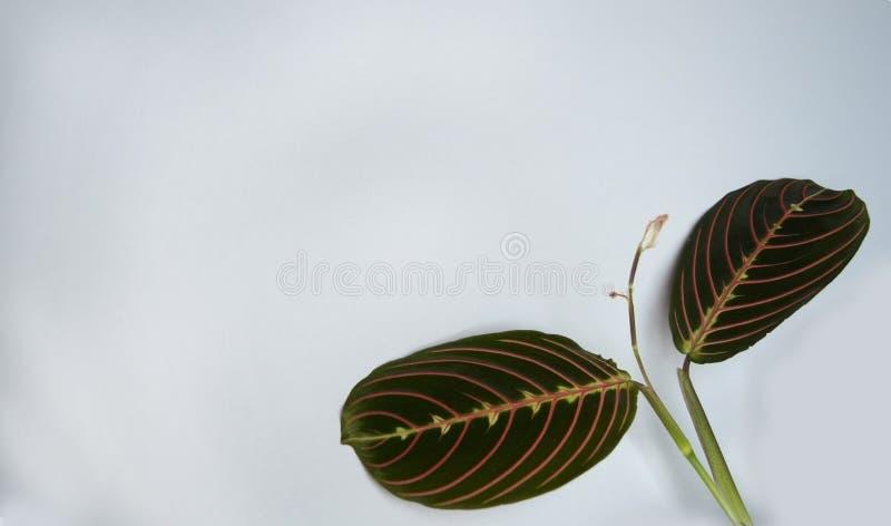 Δύο βγάζουν φύλλα Calathea σε ένα γκρίζο υπόβαθρο για ένα έμβλημα στοκ φωτογραφία
