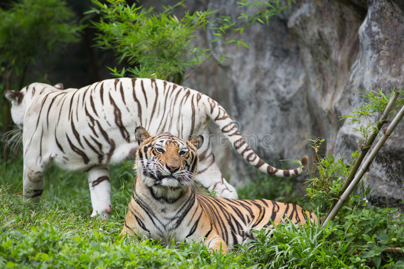 Δύο Βεγγάλη τίγρη στο δάσος στοκ φωτογραφία με δικαίωμα ελεύθερης χρήσης