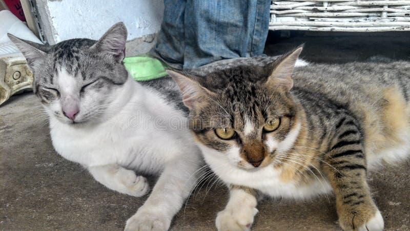 Δύο γάτες που βρίσκονται από κοινού στοκ εικόνες με δικαίωμα ελεύθερης χρήσης
