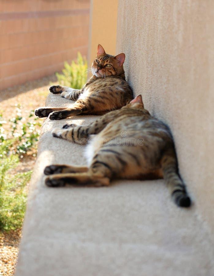 Δύο γάτες της Βεγγάλης που ξαπλώνουν και που χαλαρώνουν έξω στοκ φωτογραφίες