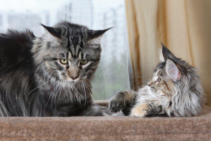 Δύο γάτες του Μαίην Coon στον πάγκο σομπών τους, γατάκι και ενήλικη γάτα στοκ φωτογραφίες με δικαίωμα ελεύθερης χρήσης