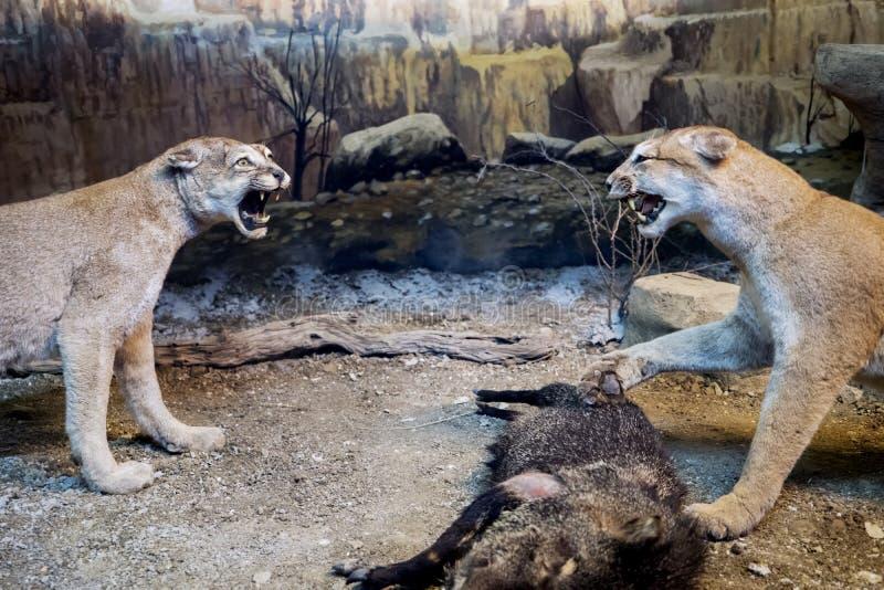 Δύο γεμισμένη πάλη λιονταρινών για να αποσπάσει ένα θήραμα στοκ εικόνα