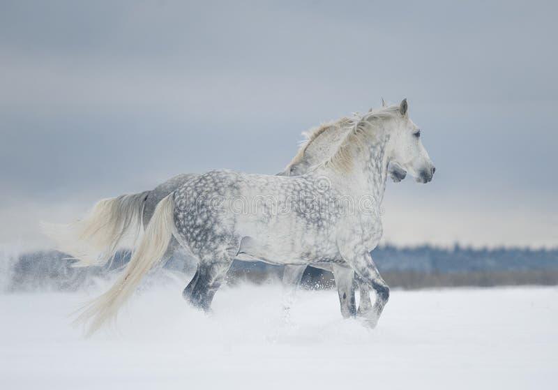 Δύο γκρίζα διάστικτα τρεξίματα αλόγων ελεύθερα στο χειμερινό τομέα στοκ εικόνες