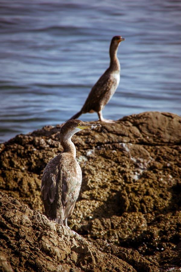 Δύο γκρίζα grebes που στέκονται στο βράχο στοκ εικόνα