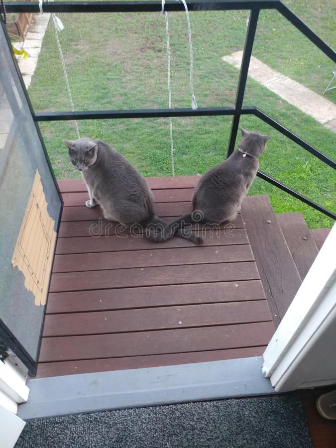Δύο γκρίζες γάτες με τις διασχισμένες ουρές στοκ φωτογραφία