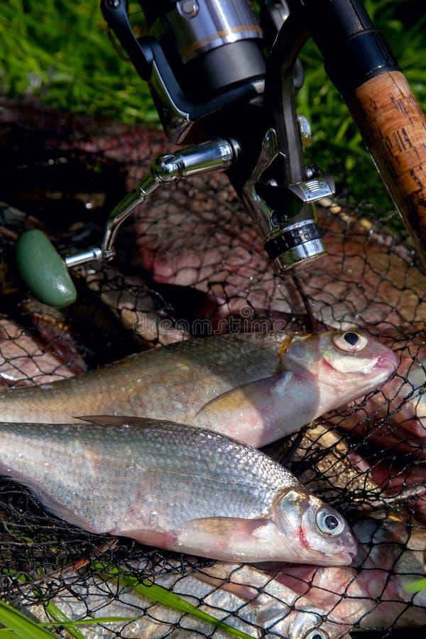 Δύο γλυκά νερά λευκού ή ασημένιου τύπου bream στο κάλυμμα με χάλκινους μαστούς ή με κυπρίους σε πράσινο γρασίδι και καλάμι ψαρέμα στοκ εικόνες